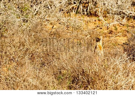 They Did Not See Me - Meerkat - Suricata Suricatta