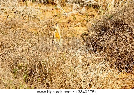 Smell You Later - Meerkat - Suricata Suricatta