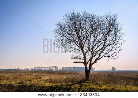 Backlit image of a lonely bare tree in the empty landscape of a Dutch nature reserve. It is a sunny day at the end of the winter season.