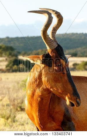 I Eye You - Red Harte-beest - Alcelaphus Buselaphus Caama