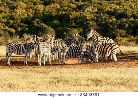 Bathing - Burchell's Zebra