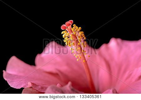 hibiscus flower and pistil on black background