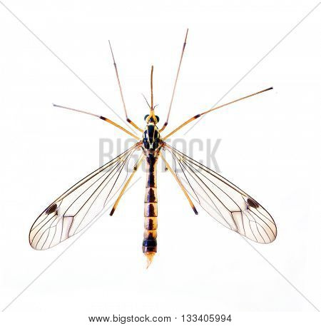 Tropical mosquito, dangerous vehicle of zika, dengue, chikungunya, malaria and other infections. Insect isolated on white background.