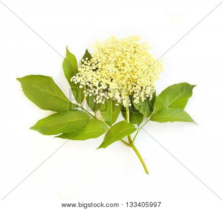 The Elder or Elderberry (Sambucus nigra).The flowers and berries are used most often medicinally against flu and fever, angina, etc. Flower isolated on white background.
