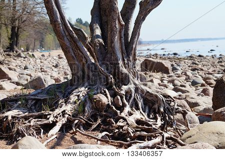 the roots of the trees on the shore of the Bay in the rocks and the sand, an old tree