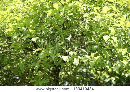 full frame vegetation background showing lots of sunny illuminated fresh green leaves