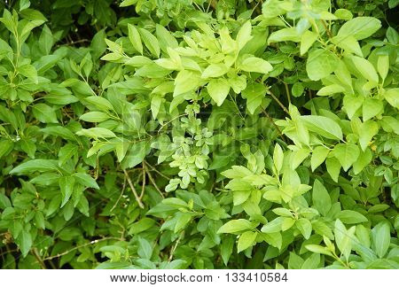 full frame vegetation background showing lots of fresh green leaves
