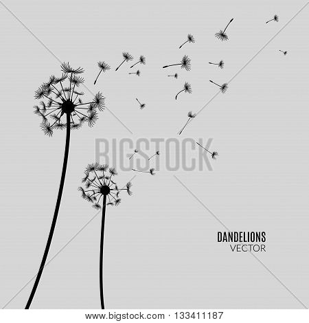Vector Dandelion silhouette. Flying dandelion buds black on gray