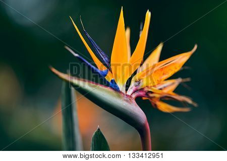 Close-up Of Blossoming Strelitzia Flower During Spring