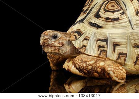 Closeup peeking Head of Leopard tortoise albino, Stigmochelys pardalis turtle with white shell on Isolated Black Background