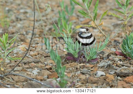 Killdeer stands over nest of eggs in a rocky area.