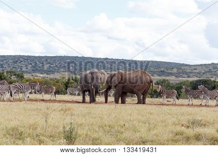 All Need Water - African Bush Elephant