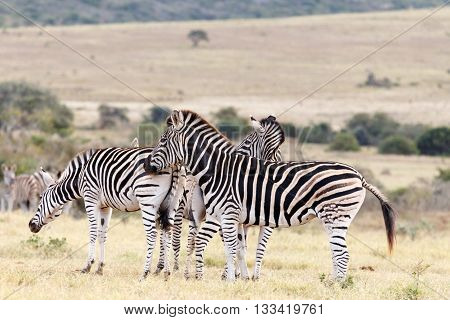 Rub - Burchell's Zebra