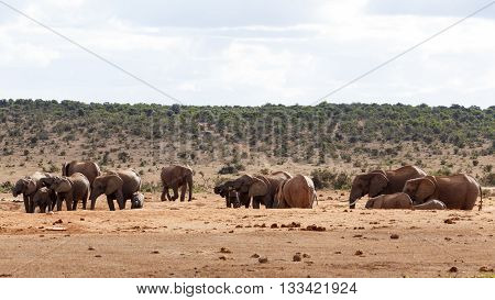 Need A Family - African Bush Elephant
