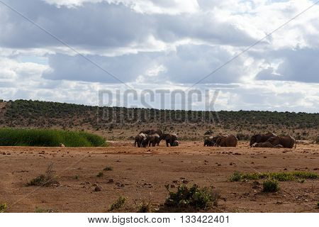 Family Day -african Bush Elephant