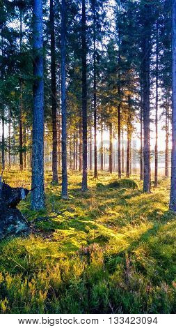 Scandinavian coniferous forest with tall pine trees at sunset. Blue trees and emerald green grass.