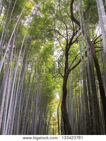 Bamboo plants in Arashiyama Bamboo Grove Kyoto Japan