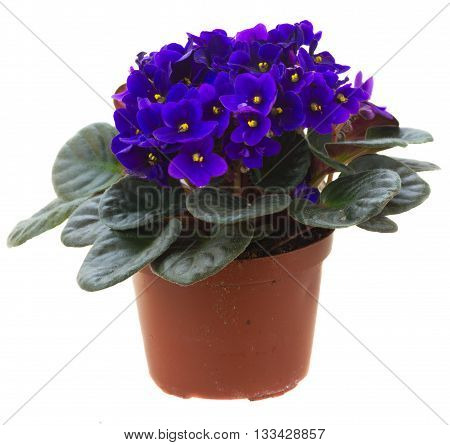 Posy of fresh growing violet flowers in pot isolated on white background