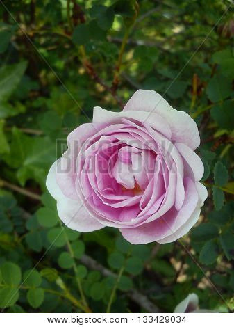 Fully open pale pink rose smiling in the sea of green leaves.