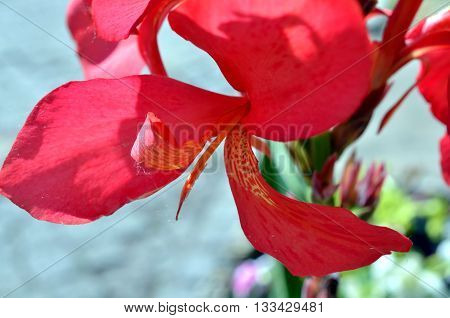 deep red large flower blossom blooming in summertime
