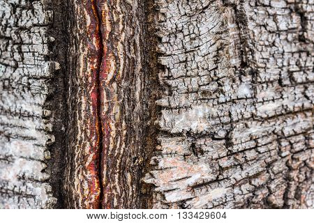 Closeup of damaged nad cracked birch tree bark