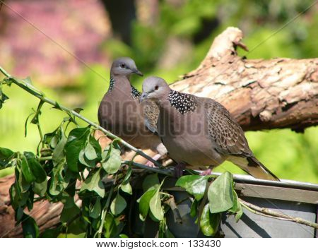Spotted Turtle Doves