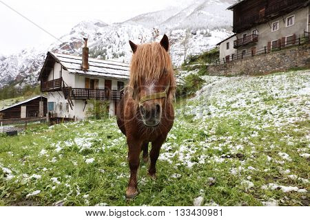 Horse on the Meadow in Aosta Valley. Italy