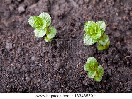 Three Mint Plantlet
