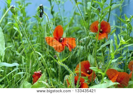 Fresh summer field with red poppies and green gress