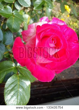 A beautifully shaped half open pink rose with white patches bathing in sunlight.