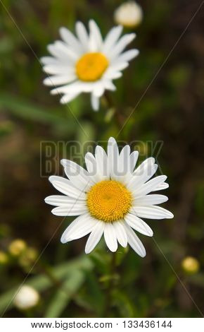 the chamomile, several pieces, grows in the field, the summer period, white, yellow, a grass a background, solar evening, the nature, natural, a flower,