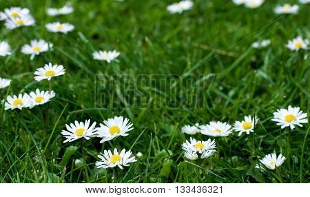 Flowers and Green Grass Field with Fragile Little Camomiles Outdoors. Focus on Foreground
