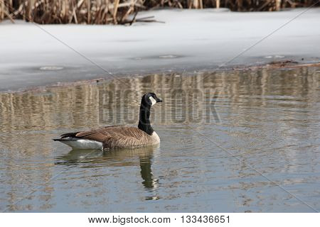 Canada Goose swimming  in a partially thawed  marsh of ice in early spring.