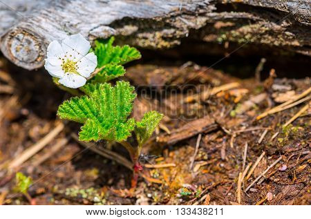 Closeup of single cloudberry flower in bog