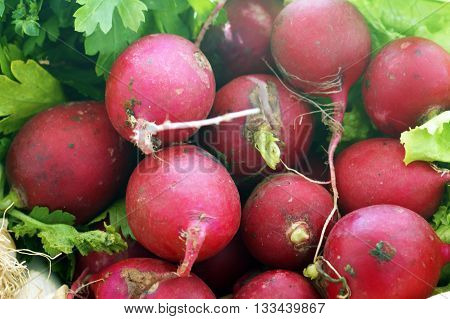 Fresh fruits medium-sized pink radishes round shape