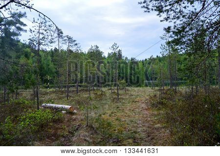 Swamp in the forest on summer time.