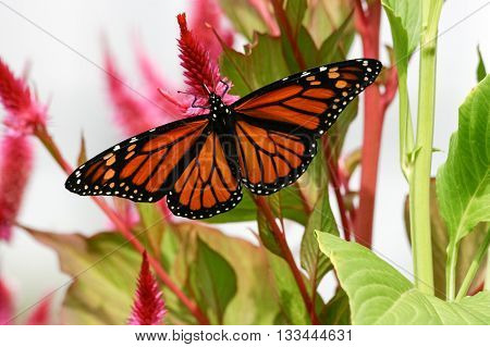Monarch Butterfly alighting on a green leafy plant.