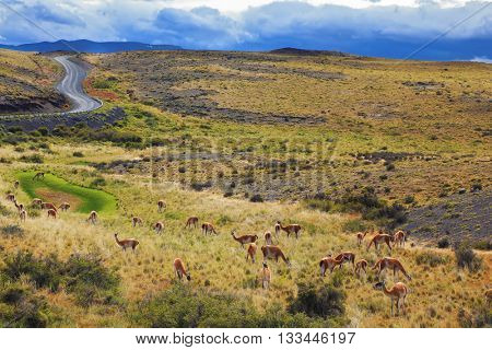 National Park Torres del Paine in Chilean Patagonia. On the grass grazing herd of wild guanacos