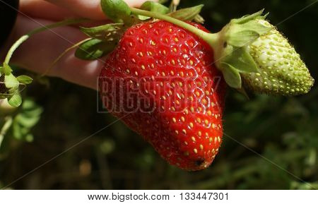 A close up image of a fresh strawberry still attached to the vine.