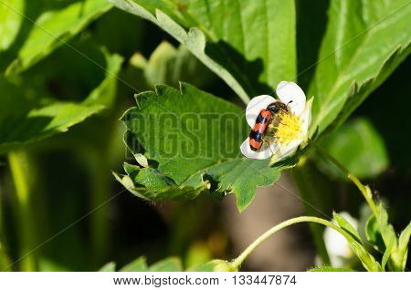 small bug sits on a strawberry flower.