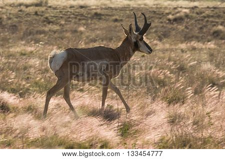 a pronghorn antelope buck on the prairie