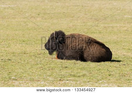 a bison in a meadow in northern arizona