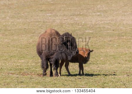 a cow bison and her cute calf