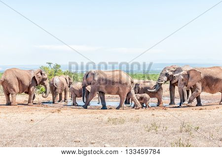 An African Elephant family (Loxodonta africana) at a waterhole