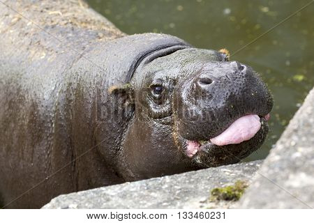 Pygmy Hippopotamus Tongue