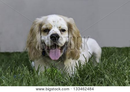 A male cocker Spaniel puppy playing in the grass