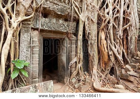 Entrance of Ta Prohm temple covered in tree roots Angkor Wat Cambodia. Close up