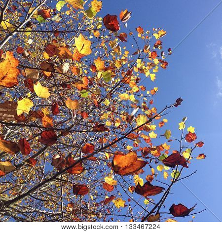 Sun shining through leaves on a tree in fall, making them glow in the sunshine, against a bright blue sky.