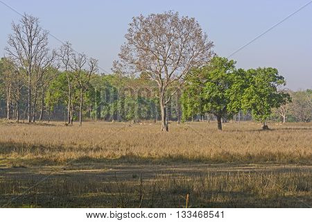 Sal Forest Tiger Habitat in Kanha National Park in India