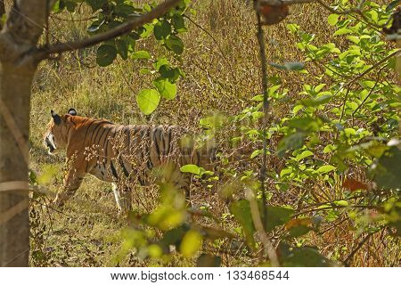 Bengal Tiger Walking Through the Forest in Kanha National Park in India